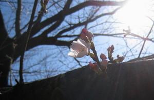 さくら開花.jpg