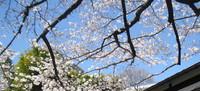 桜 開花.jpg