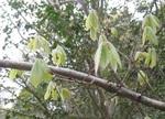 コナラの芽吹き2.jpgのサムネール画像