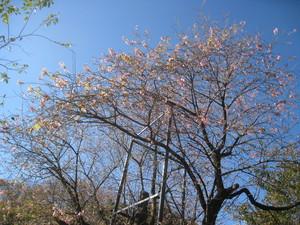20141205熱海ヒマラヤ桜