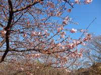 柿田川 河津桜