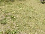 タンポポの花たち