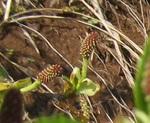 オオバヤシャブシ雌花1.jpg