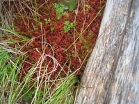紅葉したミズゴケのサムネール画像