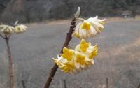 ミツマタ花