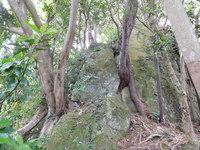 20170507日守山 岩に挟まれた木1