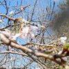 秋の桜・・・コスモスではありません!